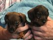 Chiots Teckels sangliers
