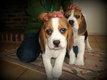 Chiots Beagle tricolor