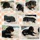 7 chiots rottweiler nés le 18/01/2020