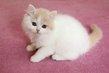 Adorables British Longhair à réserver