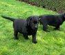 Chiots Labrador noire et blonde (parents sont...