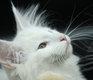 Magnifique petite femelle blanche aux yeux vert
