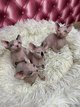 4 Adorables chatons Sphynx
