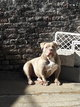 American bully femelle  Pocket