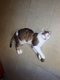 Calinou, adorable chat mâle