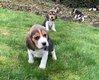 Chiots Beagle (parents présents)