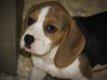 Chiots Beagle Tricolore