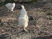 Coqs de soie Blanc