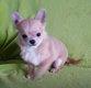 Magnifique Mini chiot mâle chihuahua creme