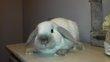 Un jeune lapin nain bélier siamois