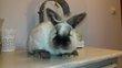 Un jeune lapin nain oreilles droites de couleur...