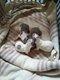 Magnifique chiot chihuahua pure race poils courts