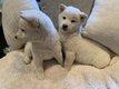Magnifiques chiots Shiba Inu disponible de suite
