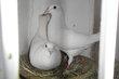 Beau couple de pigeon voyageur blanc