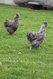 Coqs de soie pure race