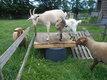 Jolie chèvre saanen crème de 2 ans