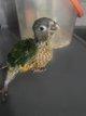 Bébé perroquet pyrrhura