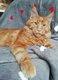 Magnifiques chaton maine coon disponible  de suite