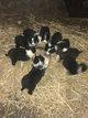 9 chiots border collie élevés à la ferme