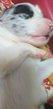 Chiots border collie
