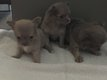 Superbes chiots chihuahuas poils longs