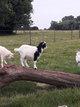 Chèvres naines jeunes et adultes
