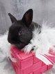 Petit bébé des lapins naine