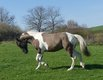 Superbe étalon paint horse Grullo Tobiano