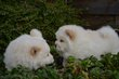 Chiots Chow Chow blanc/creme