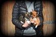 Chiots Chihuahua mini