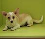 Croisé Chihuahua