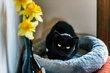 Pompon , adorable petite panthère noire de salon