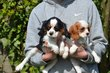 Chiots Cavalier King Charles Spaniel