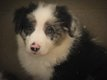 Chiots Border Collie