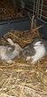 Plusieurs lapins et lapereaux sur helecine