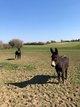 Deux ânes mâles castrés et deux cochons nains...