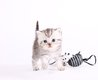 Magnifique british shorthair et scottish fold...