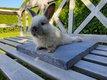Jeunes lapins nains