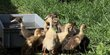 Canard coureur indien Mâle : 40  / Femelle : 75