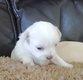 Mini chiot chihuahua poil long 2 mals