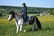 United, Hongre irish cob pie baie, 6 ans, top...