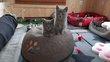 5 magnifiques chatons chartreux à reserver