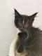Magnifiques chatons maine Coon disponibles