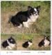 Chihuahua adulte à l'adoption