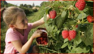Ontspanning Rode vruchten plukken