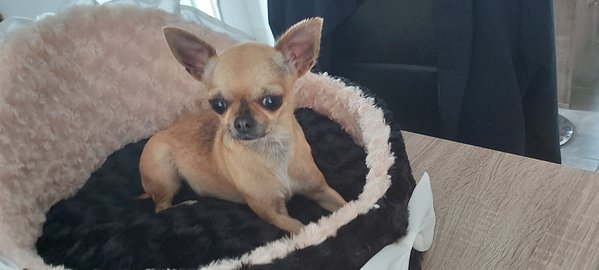 Chiens Et Chats Annonces Chihuahua Chiens Chats Be