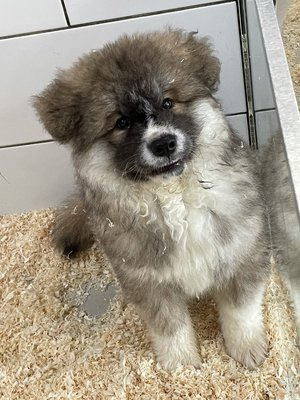Chiens Et Chats Annonces Akita Inu Chiens Chats Be