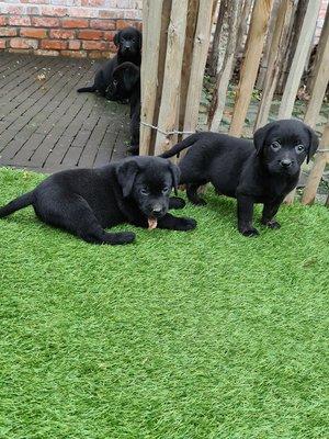 Chiots Labrador Noire Parents Presens Et Visibles Chiens Chats Be