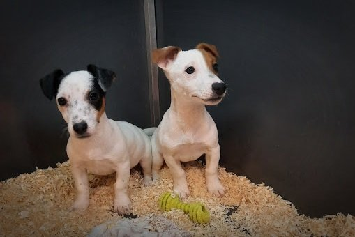 Chiens Et Chats Annonces Jack Russell Chiens Chats Be