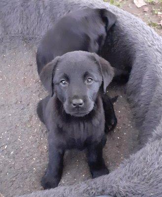 Chiens Et Chats Annonces Labrador Chiens Chats Be